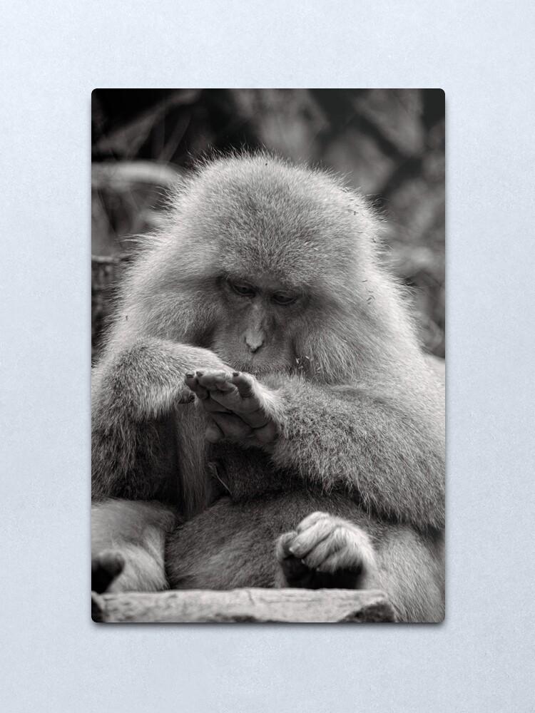 Alternate view of I think I need a manicure. Snow Monkeys Metal Print