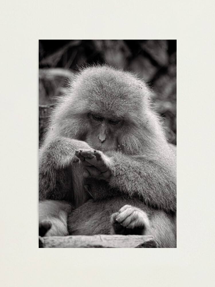 Alternate view of I think I need a manicure. Snow Monkeys Photographic Print