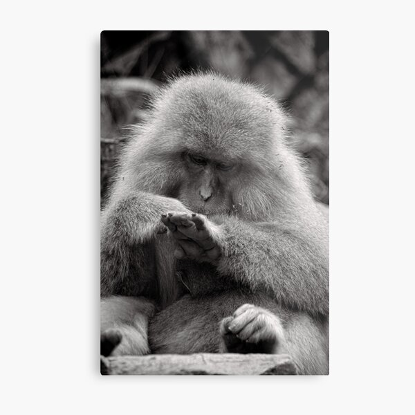 I think I need a manicure. Snow Monkeys Metal Print