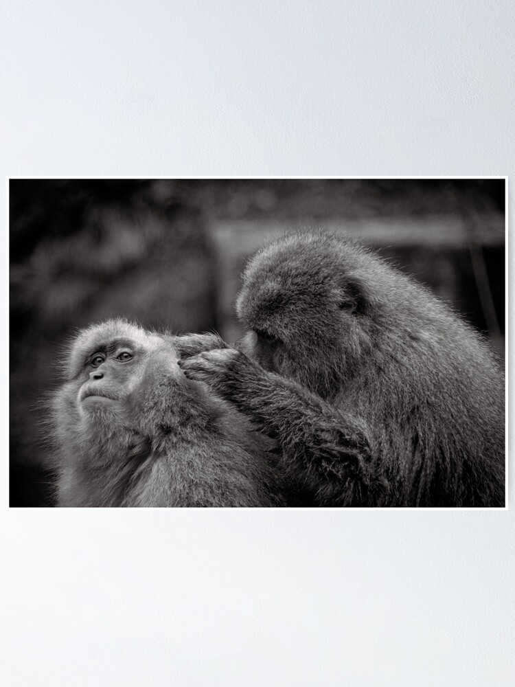 Alternate view of Five more fleas...err, I mean minutes! Snow Monkeys Poster
