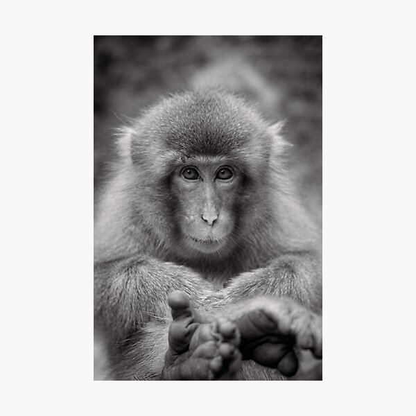 Kick back and relax. Snow Monkeys Photographic Print