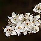 Spring Blossom by Lynne Morris