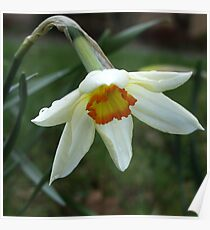 A little wild Narcissus Poster