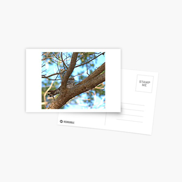 Bird Nap (Whip-poor-will) Postcard