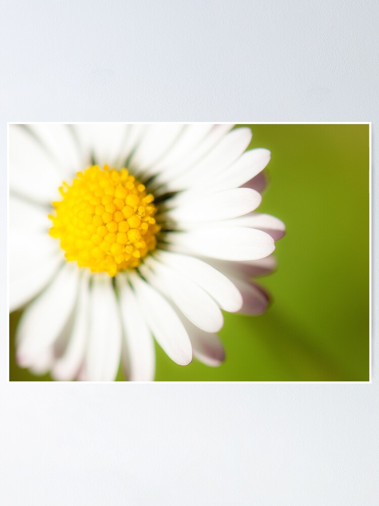 Alternate view of Spring Daisy Poster