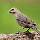 Female Brown-Headed Cowbird by Gregg Williams