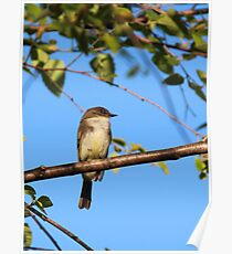 Flycatcher Poster