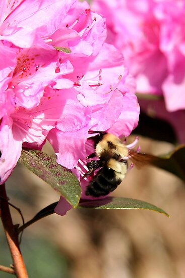 Beeing There - Rhododendron by WalnutHill