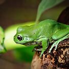 Green Tree Frog by Dilshara Hill