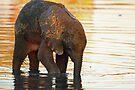 Bedtime bath by Explorations Africa Dan MacKenzie