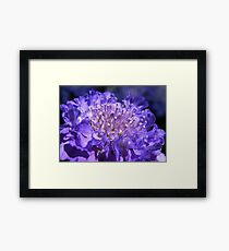 Scabious Macro Framed Print