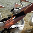 Pelican feeding - hand to mouth by Bev Pascoe