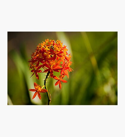 Crucifix Orchid (Epidendrum ibaguense) Photographic Print