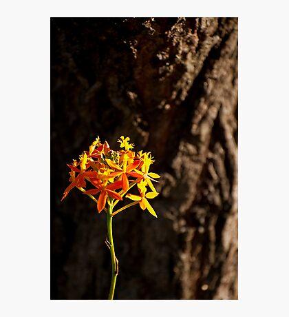 Crucifix Orchid Epidendrum ibaguense 2 Photographic Print
