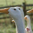 eager duck  by monkeyferret