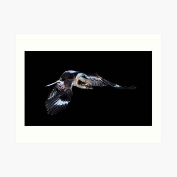 Kookaburra in flight Art Print