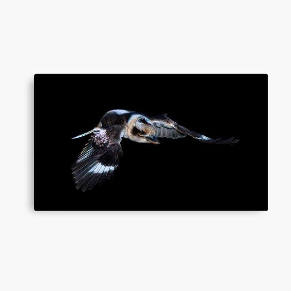 Kookaburra in flight Canvas Print