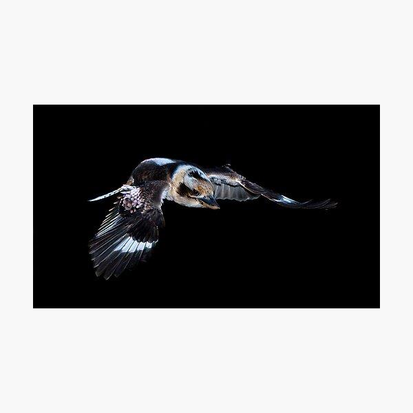 Kookaburra in flight Photographic Print
