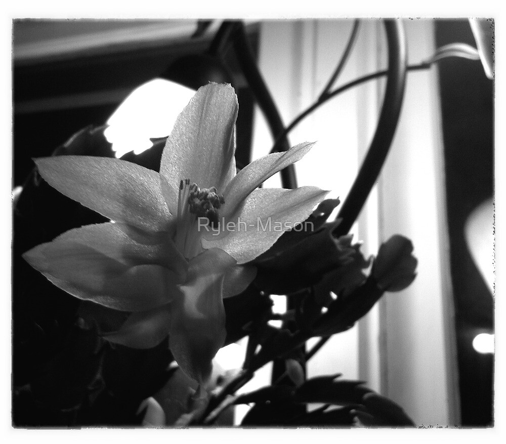 Christmas Cactus Blooming by Ryleh-Mason