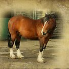 Young Clydesdale  by Irene  Burdell