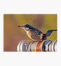 Spiny-cheeked Honeyeater Photographic Print