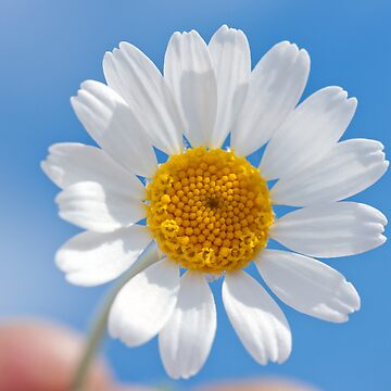 Daisy in the sky by zadiraka