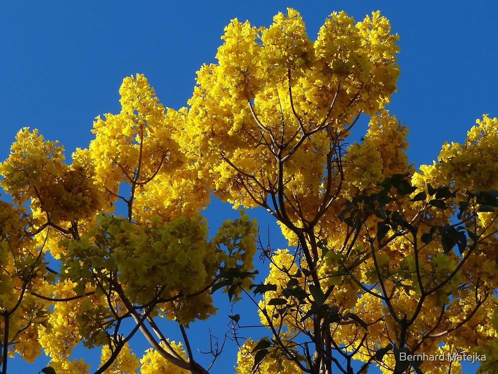 Yellow Blossoms In The Blue Sky - Flores Amarillas En El Cielo Azul by Bernhard Matejka