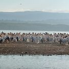 Pelican Shore by mdench