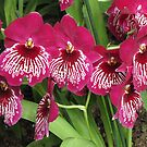 Pink Orchid by orko