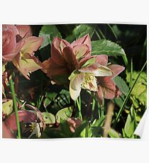 Hellebores Poster