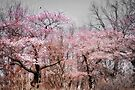 Cherry Blossom Trees  by Elaine Manley