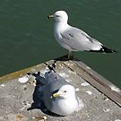 Love Gulls by nikspix
