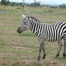 Single Zebra by mdench