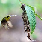 Yellow-bellied Sunbird by Adam Gormley