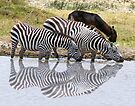 Zebras and a waterbuck by Linda Sparks