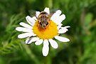 Hoverfly on Daisy - I see you!!! by Jo Nijenhuis