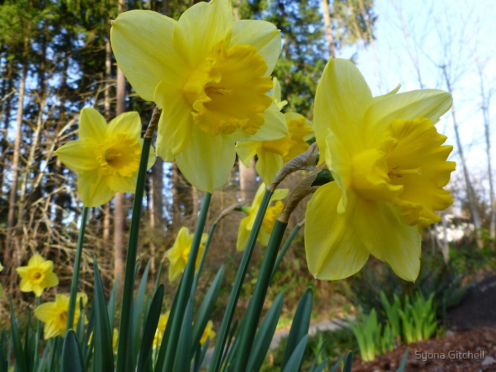 Daffodils by Syona Gitchell