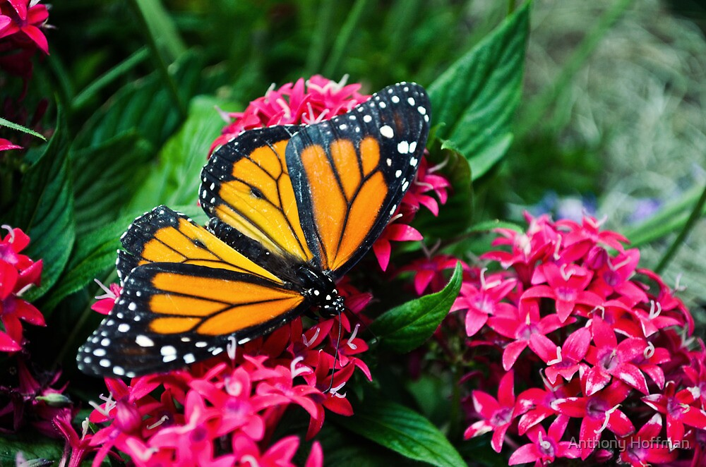 Monarch Beauty by Anthony Hoffman