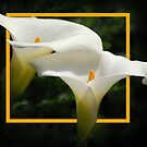 Arum Lily's  by Eve Parry