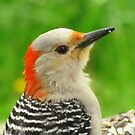 Another Pecker Profile by lorilee