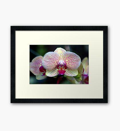 Orchid 02 Framed Print