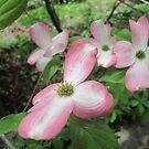 pink dogwood  by robinhensley