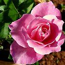Autumn rose by Irene  van Vuuren
