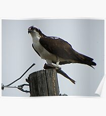 Osprey Eating Fish Poster