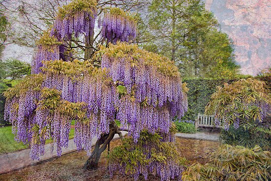 Wisteria Tree by Marilyn Cornwell