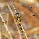 Resting Dragonfly by Rick Playle