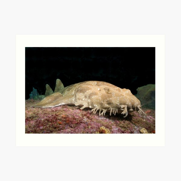 Spotted Wobbegong at the entrance to Sydney Harbour Art Print