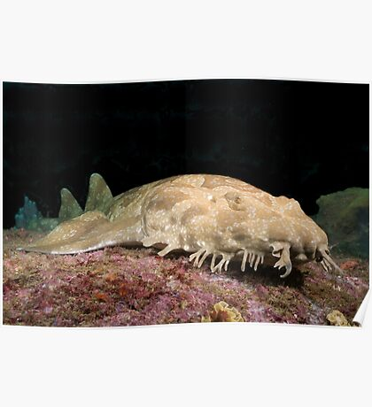 Spotted Wobbegong at the entrance to Sydney Harbour Poster