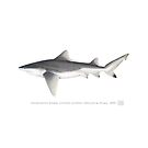 Rare Speartooth Shark (Glyphis glyphis)  by StickFigureFish