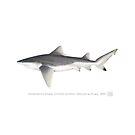 Rare Speartooth Shark (Glyphis glyphis)  by StickFigureFish